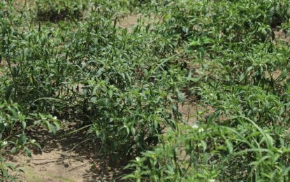 จังหวัดสงขลา เร่งช่วยเหลือเกษตรกรผู้ปลูกพริกเขียวมันที่ได้รับความเดือดร้อนราคาผลผลิตตกต่ำ จากสถานการณ์การแพร่ระบาดของโรคโควิด-19 พร้อมหาแนวทางแก้ไขปัญหาอย่างยั่งยืน